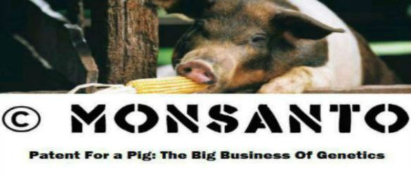 monsanto-patente-do-gene-de-porco2
