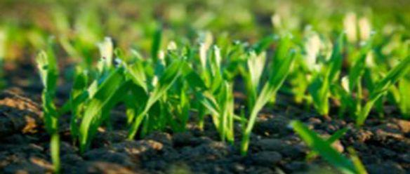 planta-chinesa-possui-composto-eficaz-no-combate-ao-cancro