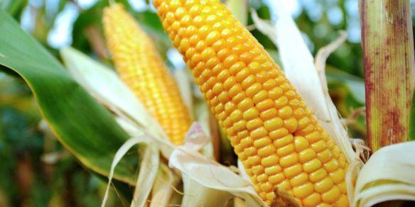 A alimentação dos portugueses e da maioria dos europeus e norte-americanos está contaminada com glifosato, um herbicida potencialmente cancerígeno. A sua presença foi detetada com valores elevados sobretudo no norte e centro do país. O glifosato é um herbicida não-seletivo que serve para matar ervas. É o herbicida mais usado em Portugal, na maioria dos países da Europa e a sua venda é um sucesso nos Estados Unidos. Foi inventado nos anos 70 pela multinacional norte-americana Monsanto. Hoje em dia, só em Portugal, há mais de 20 marcas que o comercializam e é na agricultura que é mais usado. A notícia é avançada pela RTP. A Organização Mundial de Saúde, através da Agência Internacional de Investigação para o Cancro, estudou o glifosato durante um ano e declarou-o potencialmente cancerígeno, após várias experiências de laboratório terem provado que este químico provoca doenças oncológicas em animais. O glifosato pode entrar no corpo humano através da ingestão de água, de alimentos contaminais ou apenas através da sua inalação. Em Portugal, é Instituto Nacional de Investigação Agrária e Veterinária que analisa a qualidade dos alimentos. Procuram-se substâncias diferentes e estudam-se as várias moléculas de uma amostra de alimentos para perceber se houve qualquer tipo de contaminação. Mas em nenhuma dessas fases é analisado o glifosato, alerta a RTP. Fonte: http://lifestyle.sapo.pt/saude/noticias-saude/artigos/portugueses-estao-a-ser-contaminados-com-herbicida-cancerigeno